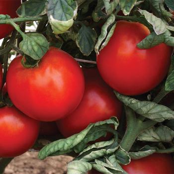 Camaro Hybrid Vffa Tomato