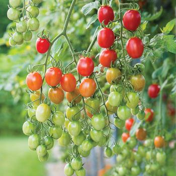 Celano Hybrid Tomato