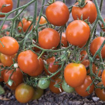 Centiflor Orange Tomato