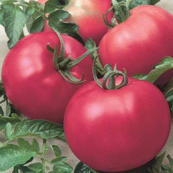 Chef's Choice Pink Hybrid Tomato