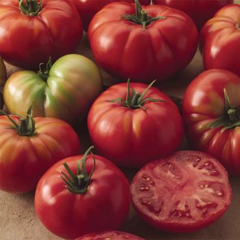 Champion 2 Hybrid Tomato