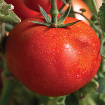 Early Girl Hybrid Tomato - 30 seeds