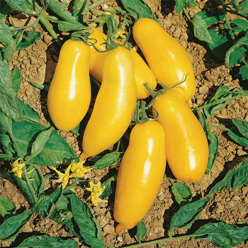El Dorado Hybrid Tomato