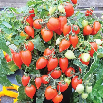 Funnyplums Red Hybrid Tomato