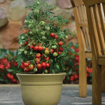 Geranium Kiss Tomato