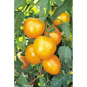 Golden Jubilee Tomato - 1/16 Ounce