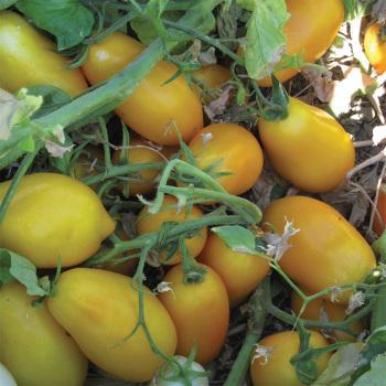 Golden San Marzano Hybrid Tomato