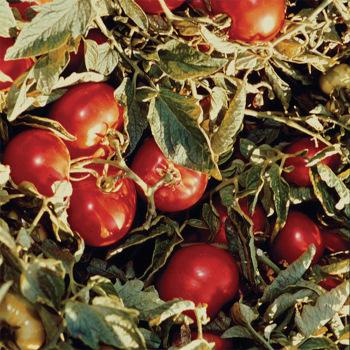 Heinz 1370 Tomato