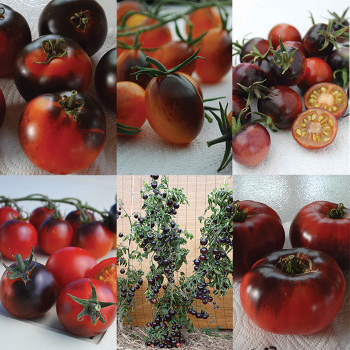 Indigo Tomato Collection - 1 Each Of 6 Varieties