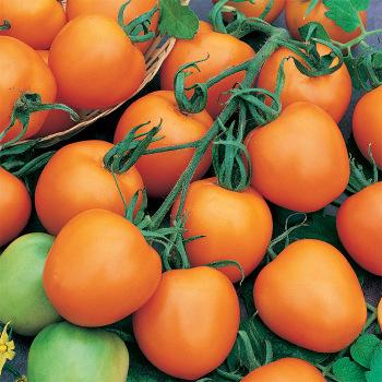 Jaune Flammee Tomato