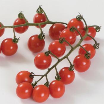 Jasper Hybrid Tomato