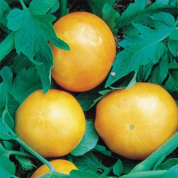 Kentucky Beefsteak Tomato