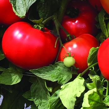 Loretta Hybrid Tomato