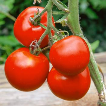 Manitoba Tomato