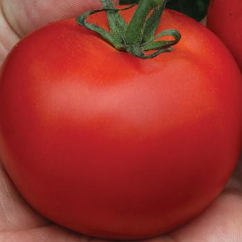 Megabite Hybrid Tomato