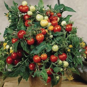 Micro Tom Tomato - 20 seeds