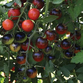 Midnight Snack Hybrid Tomato