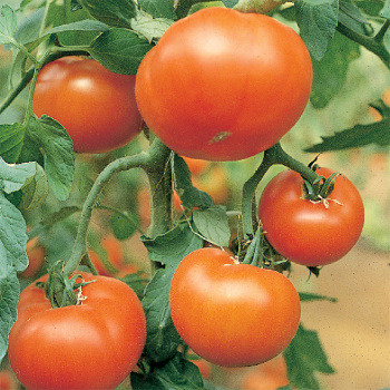 Mountain Delight Hybrid Tomato