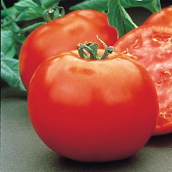 Mountain Pride Hybrid Tomato