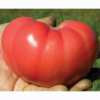 Mountain Rouge Hybrid Tomato