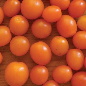 Orange Sunshine Hybrid Tomato