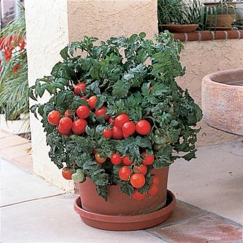 Patio Hybrid Tomato