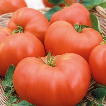 Perfectly Pink Hybrid Tomato