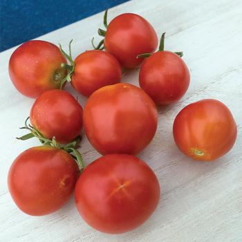 Quedlinburger Fruhe Liebe Tomato