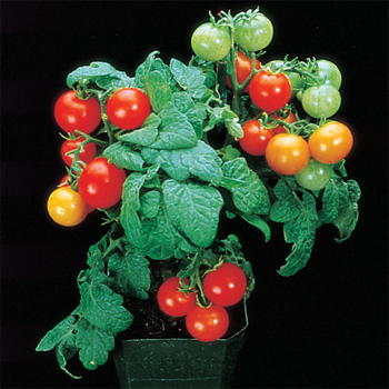 Red Robin Tomato - 30 seeds