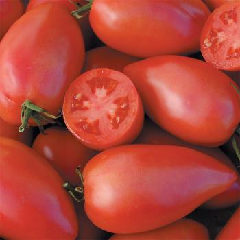 Sheboygan Tomato