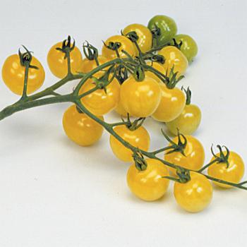 Snowberry Tomato