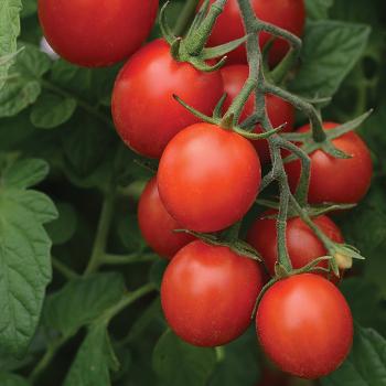 Sugar Rush Hybrid Tomato