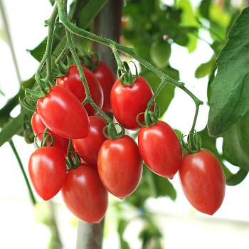 Sugary Hybrid Tomato - 15 seeds