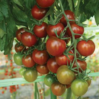 Sunchocola Hybrid Tomato