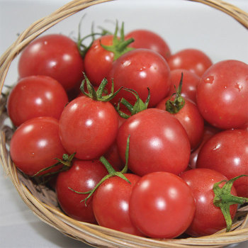 Sunpeach Hybrid Tomato