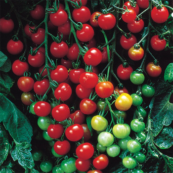 Supersweet 100 Hybrid Tomato - 30 seeds