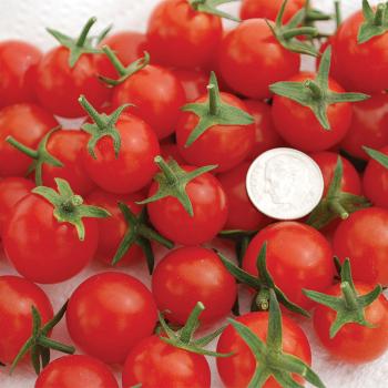Sweet Aperitif Tomato