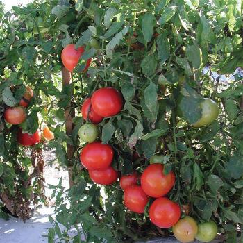 Tasti Lee Hybrid Tomato