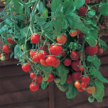 Red Tumbling Tom Series Tomato