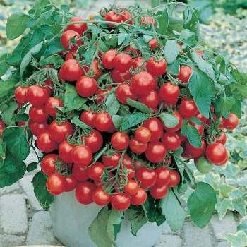 Tumbler Hybrid Tomato - 10 seeds