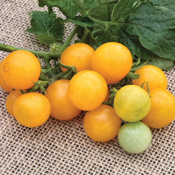Little Birdy Series Yellow Canary Tomato