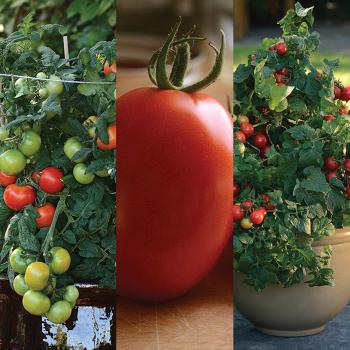 All Little Series Tomato