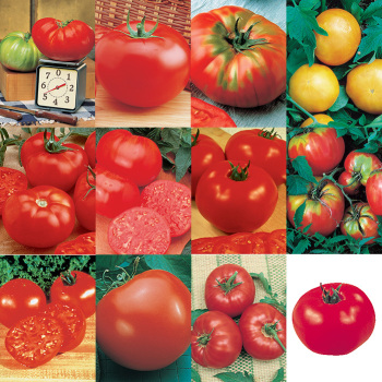 Top 12 Tomato Collection