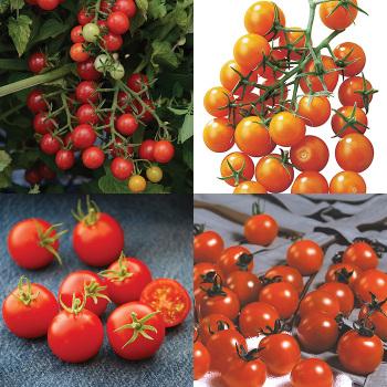 Little Bites Tomato Collection