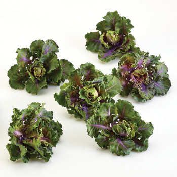 Autumn Star Hybrid Kalettes