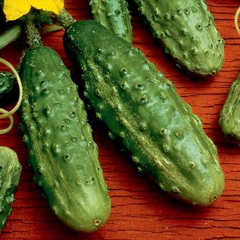 Little Tyke Hybrid Cucumber