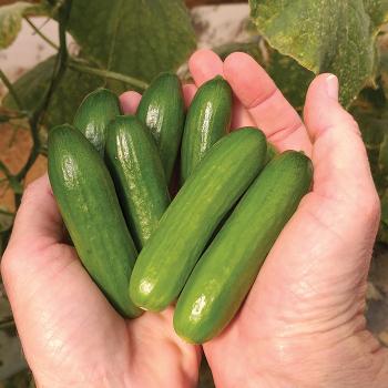 Mini-Me Cucumber