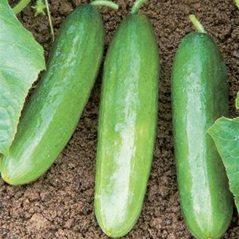 Diva Cucumber - 20 seeds