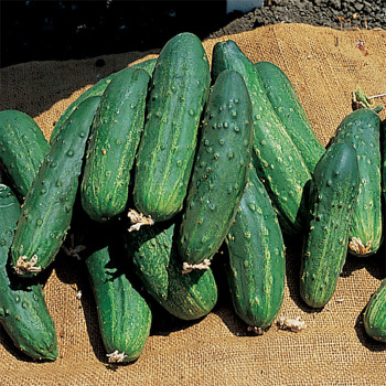 Bush Pickle Cucumber