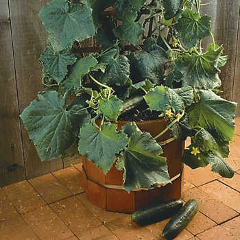 Salad Bush Hybrid Cucumber
